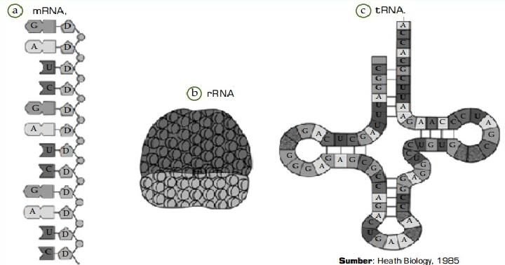 Pengertian dan Jenis-Jenis RNA (Ribosa Nucleid Acid)