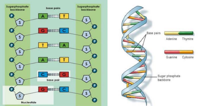 Pengertian dan Sejarah Perkembangan Struktur DNA