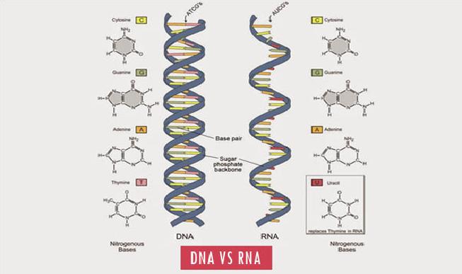 Perbedaan Serta Peranan DNA dan RNA