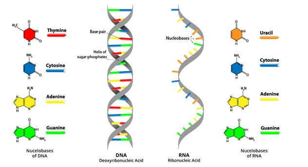 Fungsi Utama RNA (Asam Ribonukleat)