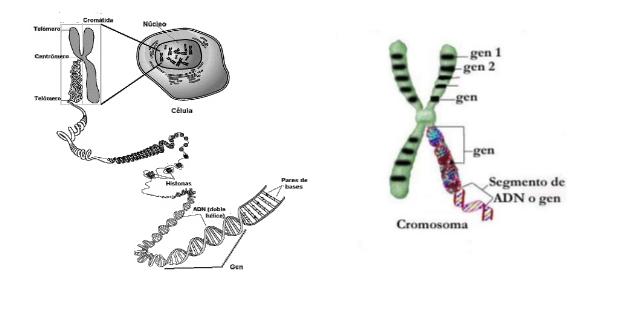 Pengertian dan Sifat-sifat Gen
