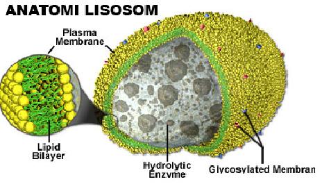 Pengertian Dan Fungsi Lisosom Pada Hewan