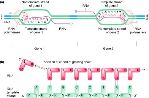 Pengertian dari Sintesis Protein