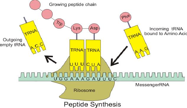 Fungsi dan Manfaat Penting tRNA