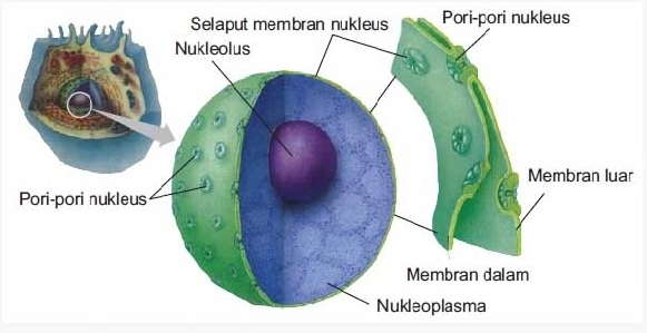 Pengertian, Struktur Dan Fungsi Inti Sel (Nukleus)