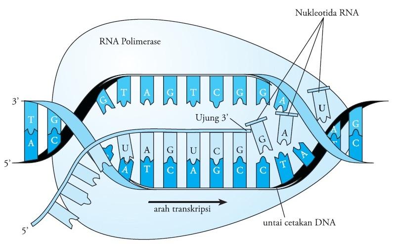 Pengertian Transkripsi DNA