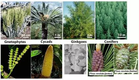 Pengertian, Ciri Dan Klasifikasi Spermatophyta ( Tumbuhan Berbiji )