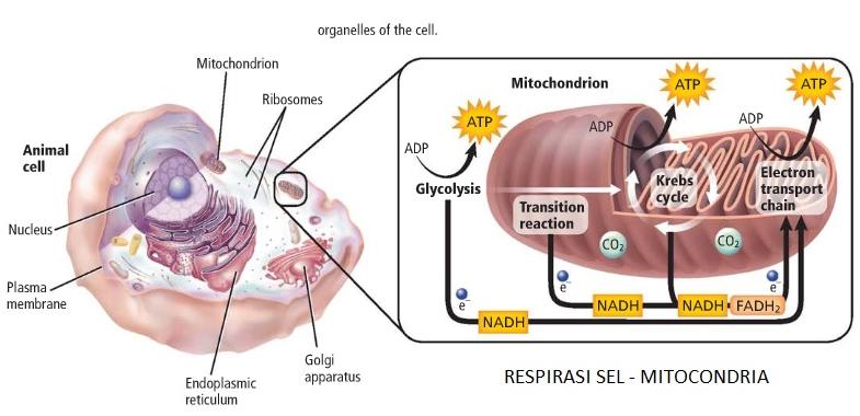 Proses Penting dalam Respirasi Sel