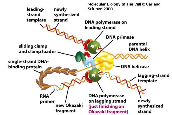 Pengertian, Jenis, dan Enzim DNA