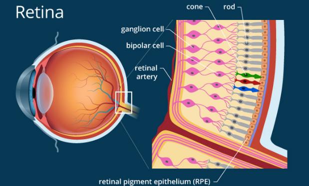 Pengertian dan Fungsi Retina