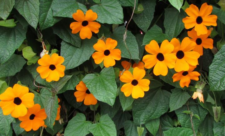 Image result for tanaman gantung Black Eyed Susan Vine