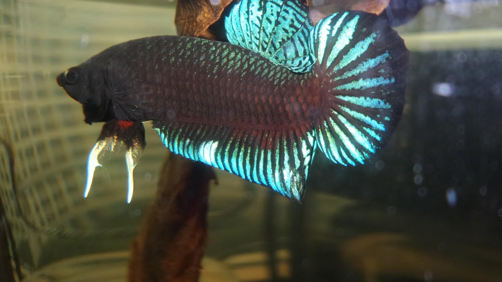 Ciri dan Karakteristik Ikan Cupang