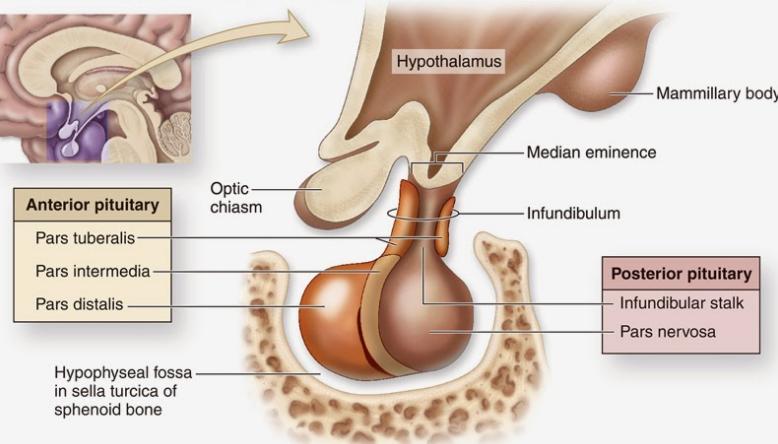 Pengertian, Struktur, dan Fungsi Hipofisis (Kelenjar Pituitari)