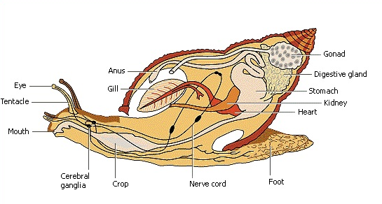 Sistem Pencernaan Mollusca