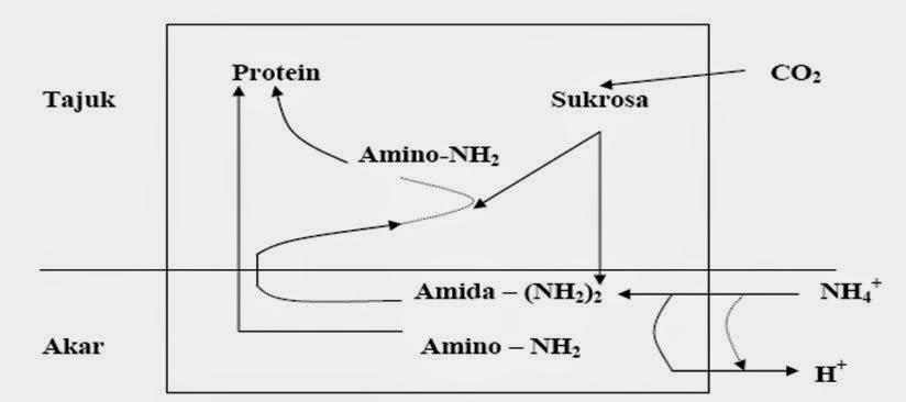Pengertian Penambatan Nitrogen