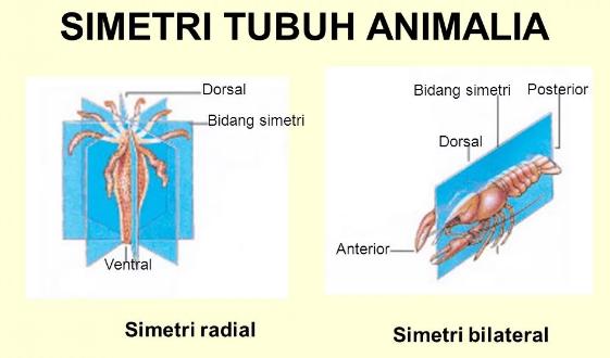 Pengertian, Ciri dan Contoh Hewan Simetri Radial dan Bilateral