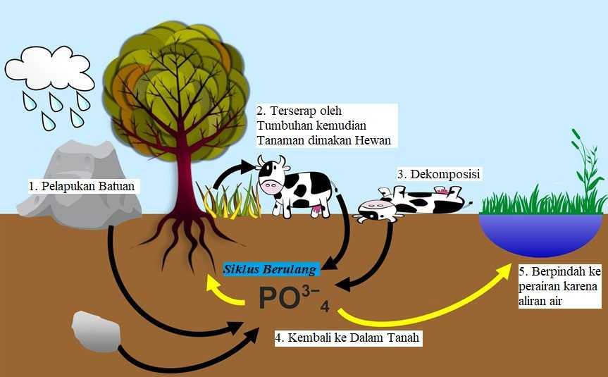 Pengertian, Proses,Fungsi dan Bahaya Daur Fosfor