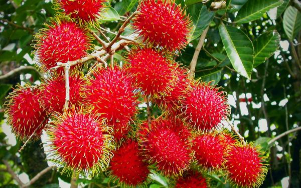 Cara Pengendalian Hama dan Penyakit Tanaman Rambutan