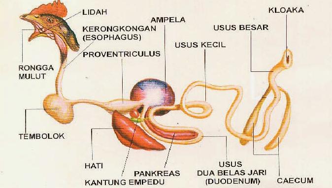 29++ Gambar organ pencernaan hewan ruminansia terupdate