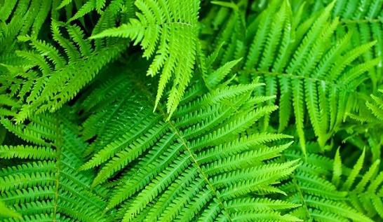 Pengertian, Struktur, Ciri, dan Klasifikasi Tumbuhan Paku (Pteridophyta)