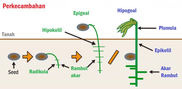 Jenis dan Macam Tanaman Hipogel dan Epigeal