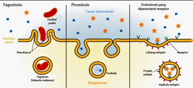 Pengertian, Contoh, Proses dan Perbedaan Endositosis dan Eksositosis