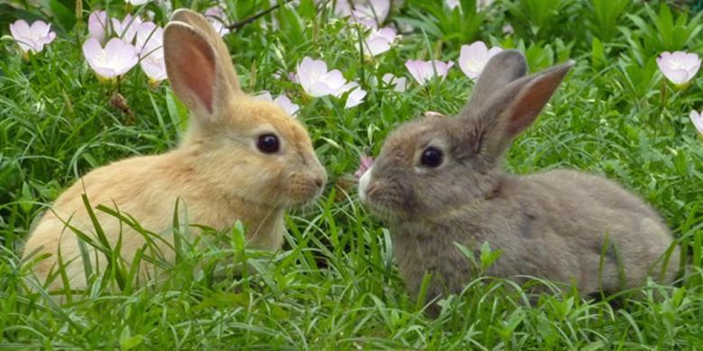 Ciri dan Karakteristik Khusus Hewan Kelinci
