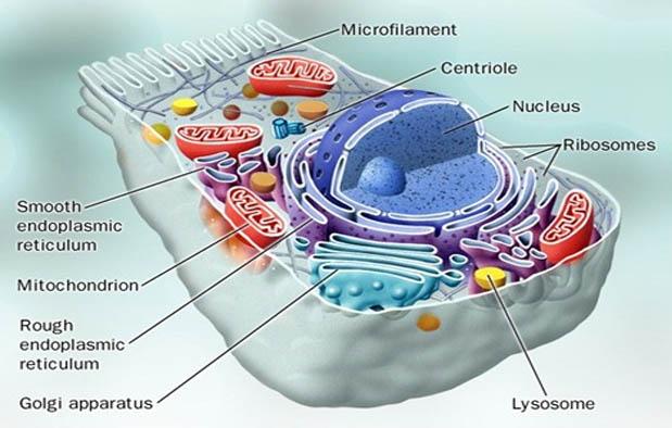 Aneka Komponen Penyusun Kimiawi Sel Beserta Fungsinya Bagi Tubuh