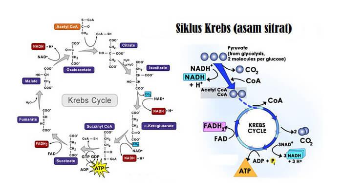 Proses Pembentukan ATP Melalui Siklus Krebs