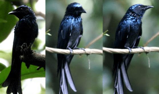 Cara Membedakan Burung Srigunting Betina dan Jantan