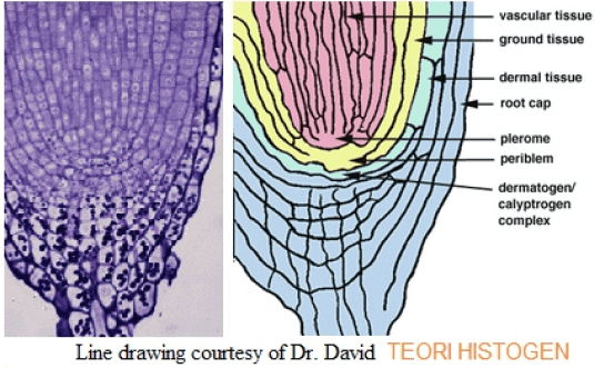 Pengertian Histogen Adalah : Definisi Pada Tanaman