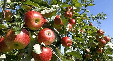 Ciri dan Karakteristik Tanaman Apel
