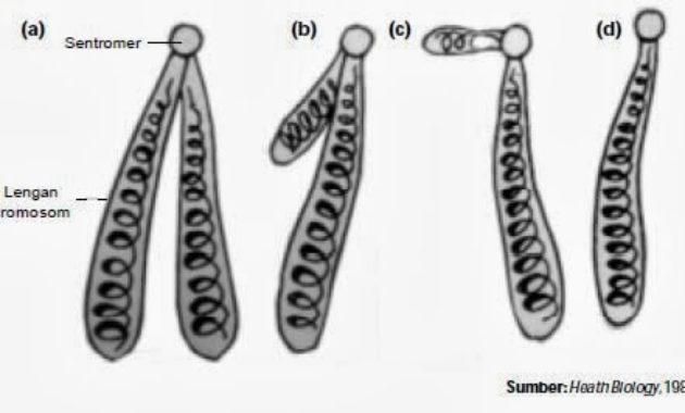 Mengenal Jenis-jenis Kromosom Berdasarkan Letak Sentromer
