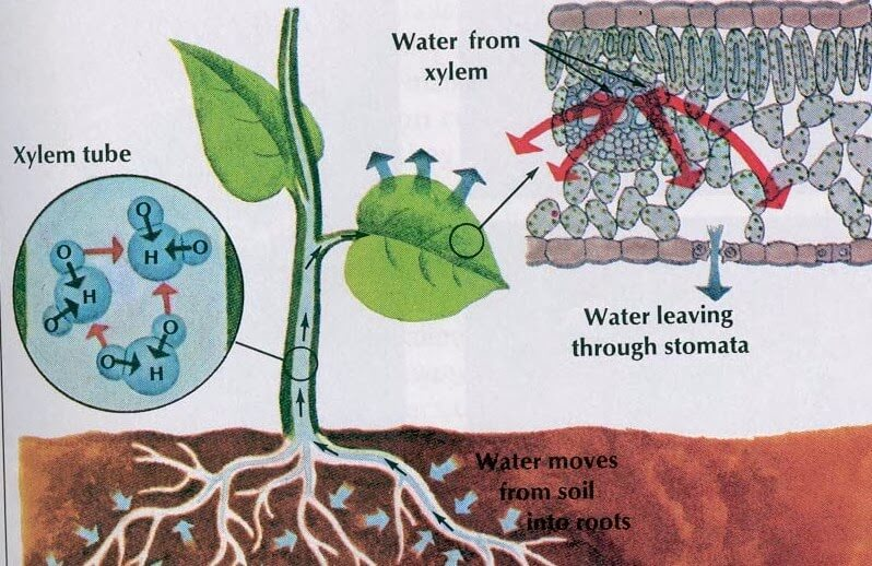 Pengertian dan Proses Transpirasi Pada Tumbuhan