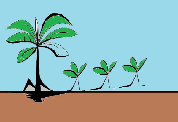 Berikut Proses dan Tahapan Perkembangbiakkan Pohon Pisang