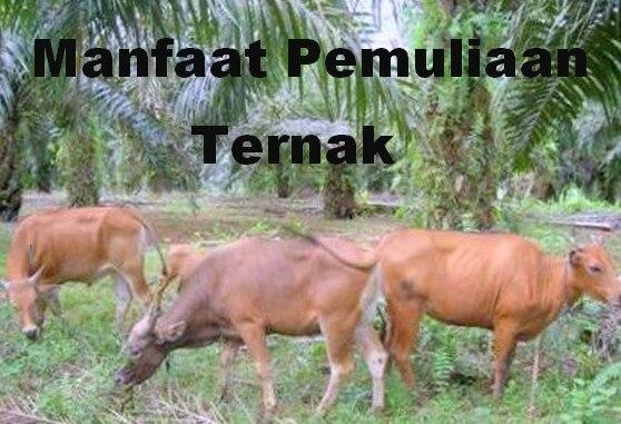 Manfaat dan Peranan Pemuliaan Ternak