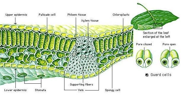 Pengertian dan Definisi Anatomi Pada Tumbuhan