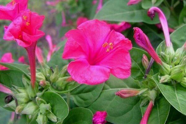 Klasifikasi dan Morfologi Bunga Pukul Empat